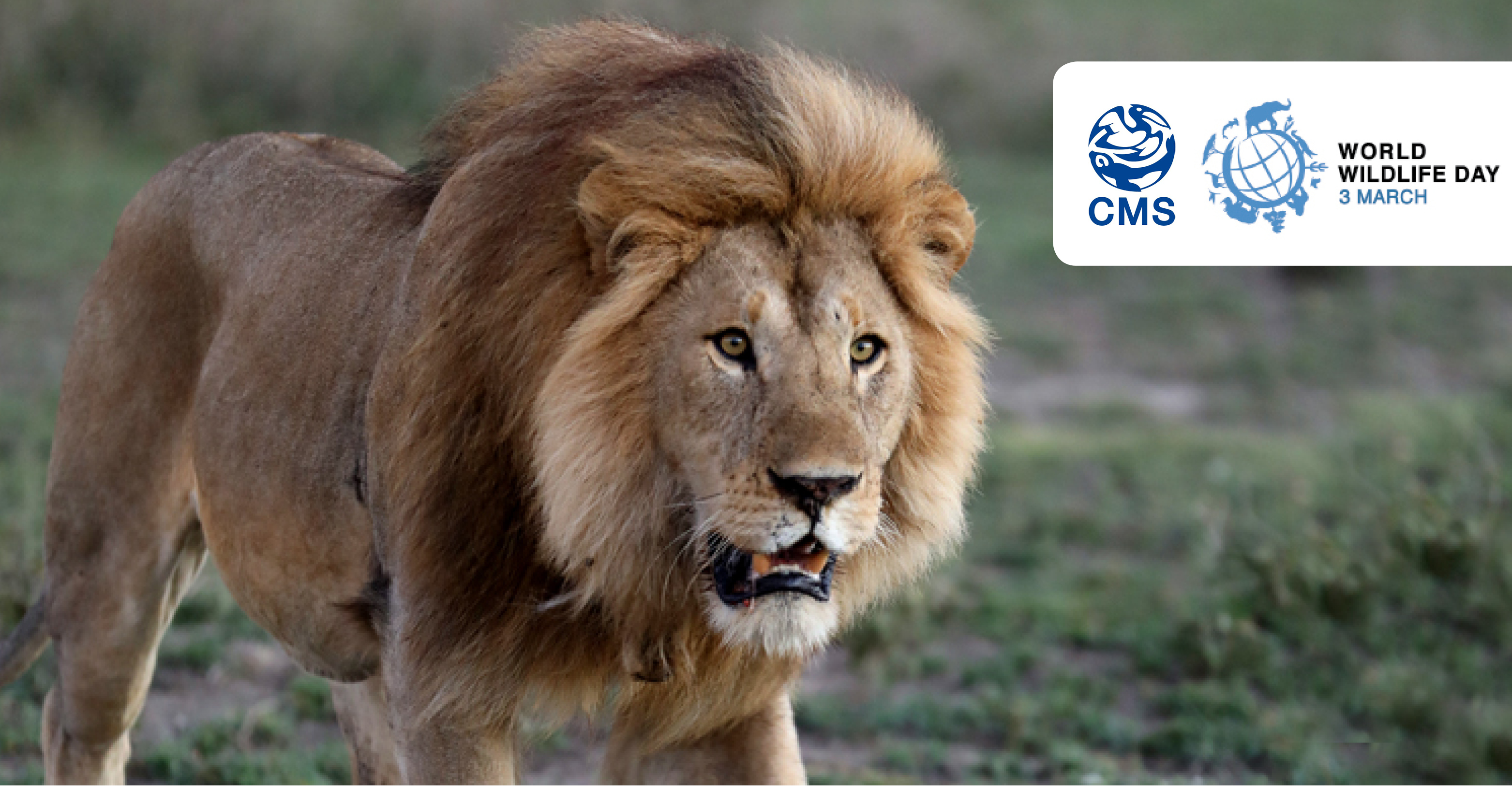 Number Of Lions Left In The World Best Lion 2017