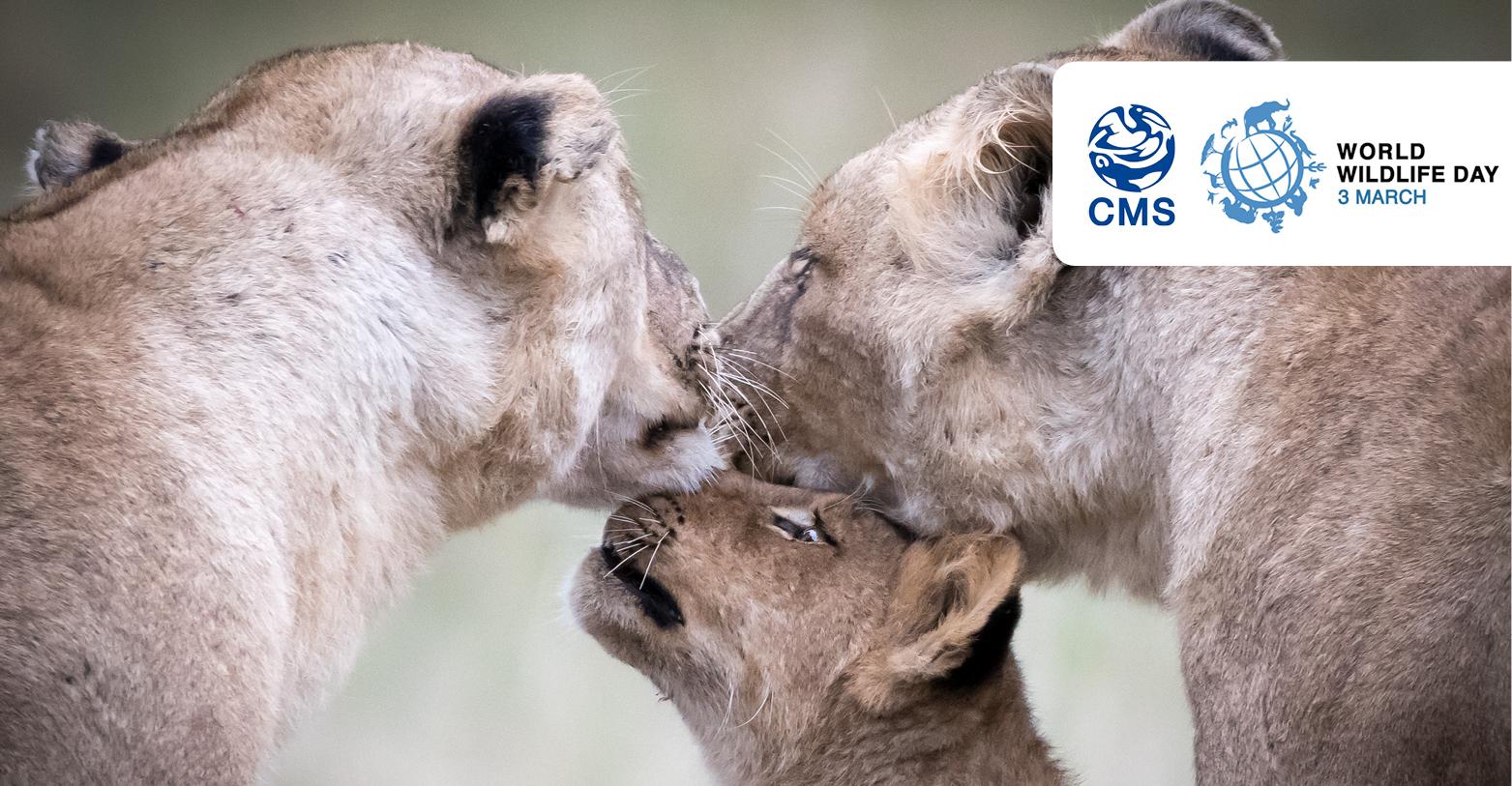 African Lions (Panthera leo)  © John Birch