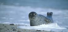 Harbor Seal © Klaus Janke