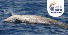 La baleine à bec de Cuvier © Dave Sellwood