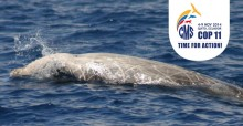 Cuvier's beaked whale © Dave Sellwood