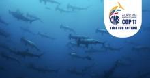 School of Scalloped Hammerhead Sharks (Sphyrna lewini) © Image Broker/Robert Harding