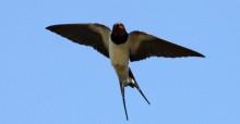 Barn Swallow © Ken Billington (Own work) [CC BY-SA 3.0 (http://creativecommons.org/licenses/by-sa/3.0)], via Wikimedia Commons