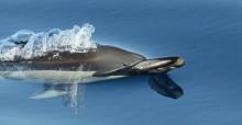 Bottlenose Dolphin © João Corvina