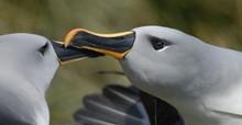 Albatros © ACAP
