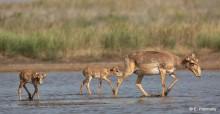 Saiga antelopes, Stepnoi Reserve © E. Polonskiy