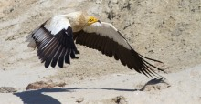 Egyptian Vulture © Alireza Hashemi