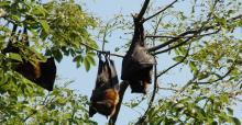 Australian Flying Foxes © Andrea Pauly