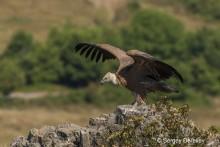 Griffon Vulture, Bulgaria  © Sergey Dereliev (UNEP/ AEWA) www.dereliev-photography.com