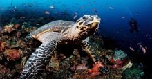 Hawksbill turtle © Robert Harding