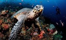 Hawksbill Turtle, Komodo, Indo-Pacific, credit: Image Broker/Robert Harding
