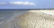 Migratory birds in the Wadden Sea  © Jan van der Kam/CWSS