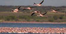 Lesser flamingoes © Mark Anderson