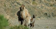 Camello silvestrel © Petra Kaczensky