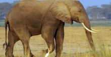 African elephants are being poached in record numbers to satisfy the demand for ivory