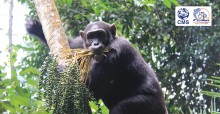 Chimpanzee © Clara Nobbe