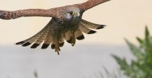 Common Kestrel © Andras Kovacs, www.raptorimages.hu