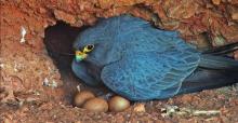 Halcón pizarroso (adulto) en un nido. Copyright por INTEWO | World Habitat Society GmbH