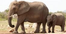 Éléphants (Loxodonta africana) au bord d'un point d'eau, Parc national d'Etoscha, Namibie © Peter Prokosch