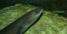 By Bernard DUPONT from FRANCE (European Eel (Anguilla anguilla)) [CC BY-SA 2.0 (http://creativecommons.org/licenses/by-sa/2.0)], via Wikimedia Commons