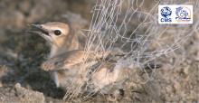 Wheatear caught in a net © Mindy El Bashir/Nature Conservation Egypt