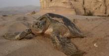 Green Turtle at Ras al Jinz © D Hykle UNEP/CMS/IOSEA
