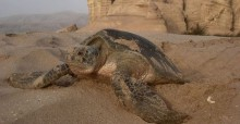 Green Turtle at Ras al Jinz © D Hykle UNEP/CMS/IOSEA