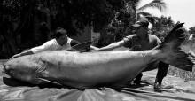 Zeb Hogan with Giant Mekong Catfish © Suthek Kritsanavari