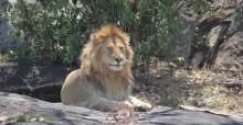 African lion © Clara Nobbe