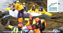 Pilot whale mass stranding in Scotland, copyright Crown