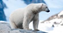 Polar Bear © Peter Prokosch