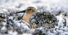 Red Knot, which breeds in the high Arctic migrates up to 16,000 km twice a year / Photo: Peter Prokosch, GRID-Arendal