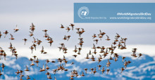 Red Knots flying over Porsanger Fjord, Northern Norway © Peter Prokosch/Grid Arendal