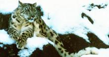Snow leopard © Joe Fox