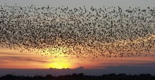 A flock of starlings © Maybe Tommy Hansen, founder of PDFnet, via Wikimedia Commons