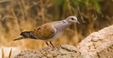 European Turtle Dove (Streptopelia turtur) © Sergey Dereliev, www.dereliev-photography.com