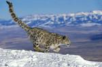 Snow Leopard © Gerard Lacz/Image Broker Robert Harding