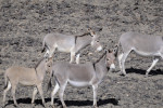 African Wild Asses © Moss'ad Sultan