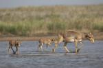 Saiga Antelope © E. Polonskiy