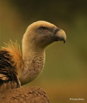 Cinereous Vulture © Andre Botha