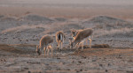 Goitered Gazelles © Petra Kaczensky