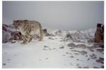 snow leopard © Snow Leopard Conservancy