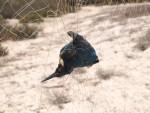Dead Kingfisher in mist net © Basem Rabia