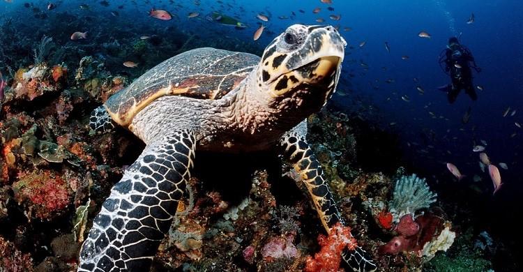 Hawksbill turtle, Komodo, Indo-Pacific, Indonesia, Southeast Asia, © Image Broker Robert Harding