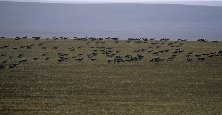 Mongolian Gazelles - Eastern steppe, Mongolia ©Petra Kaczensky