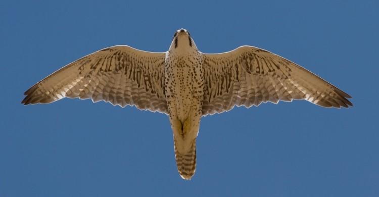 Saker Falcon (adult female) © Gabor Papp www.RaptorImages.hu