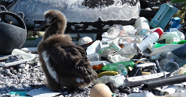 Albatross chick © by Forest & Kim Starr, CC BY 3.0, https://commons.wikimedia.org/w/index.php?curid=6157217