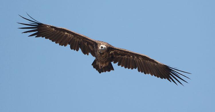 Cinereous Vulture (Aegypius monachus) © Gabor Papp, www.raptorimages.hu