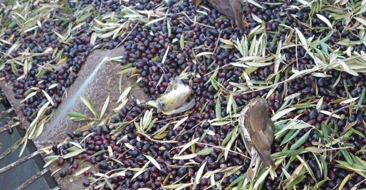 Birds killed during intensive night harvesting of olives
