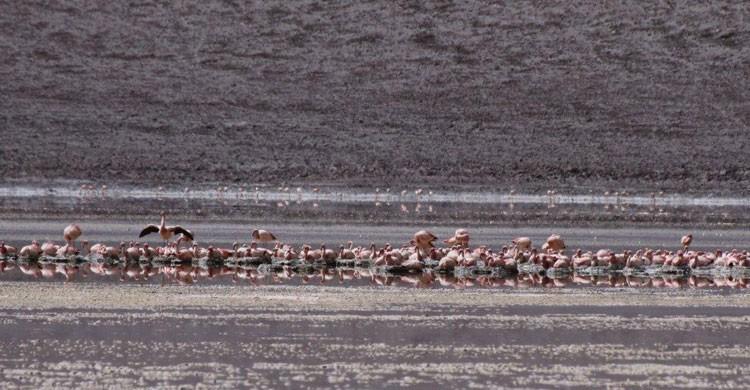 Andean flamingos © Omar Rocha